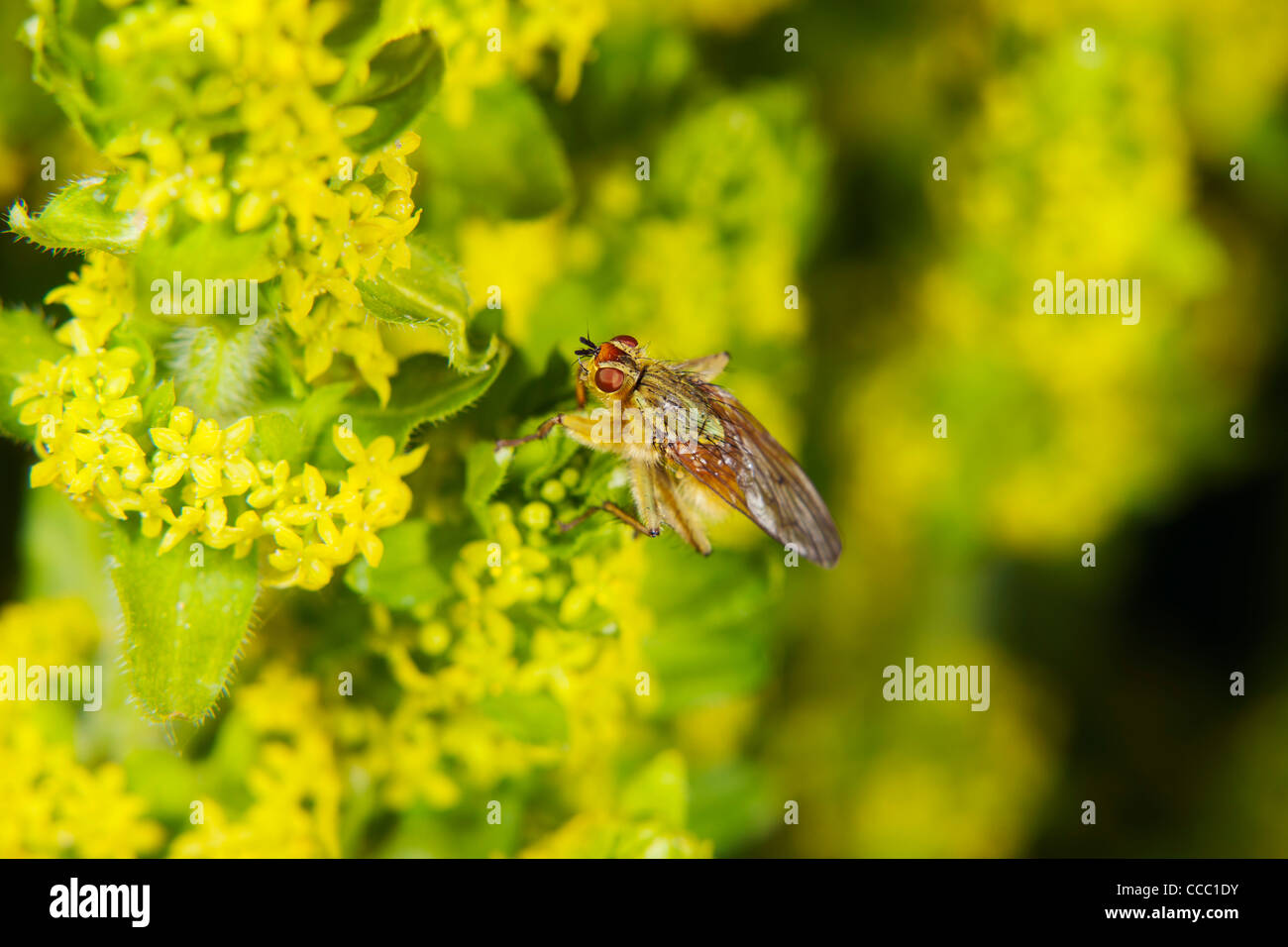 Yellow dung fly (Scathophaga stercoraria) - Stock Image