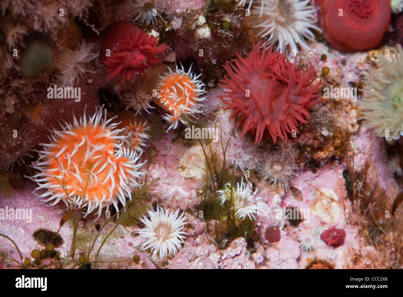 Sea anemones decorate a rock pool beneath Downpatrick Head, County Mayo, Ireland. Stock Photo