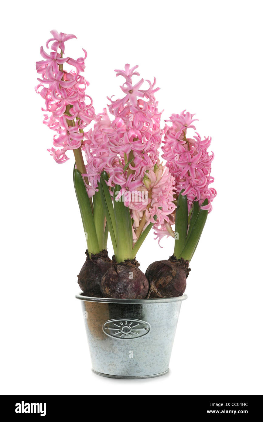 hyacinth in silver pot isolated in white - Stock Image