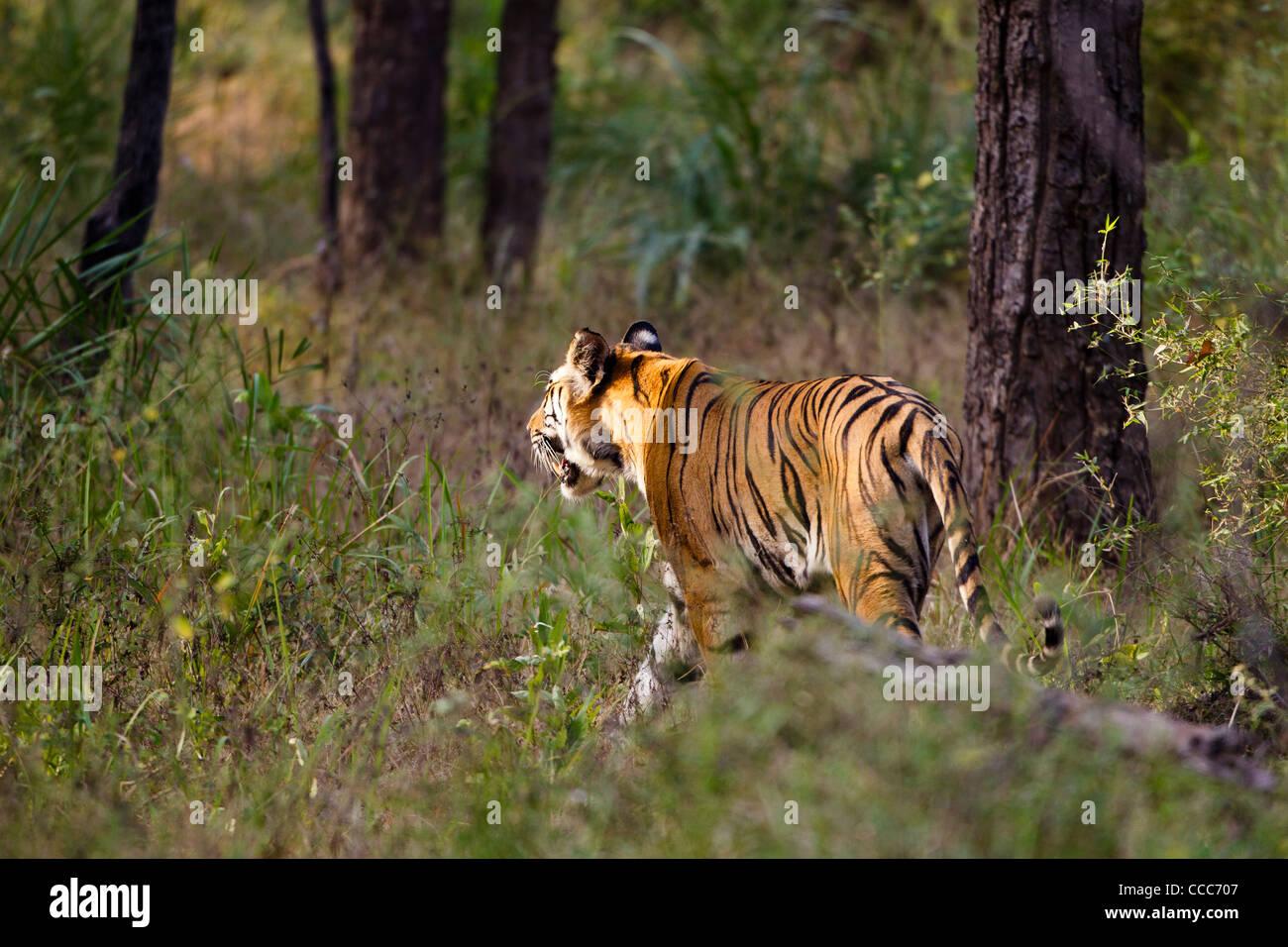 Bengal tiger in Bandhavgarh National Park, India. - Stock Image