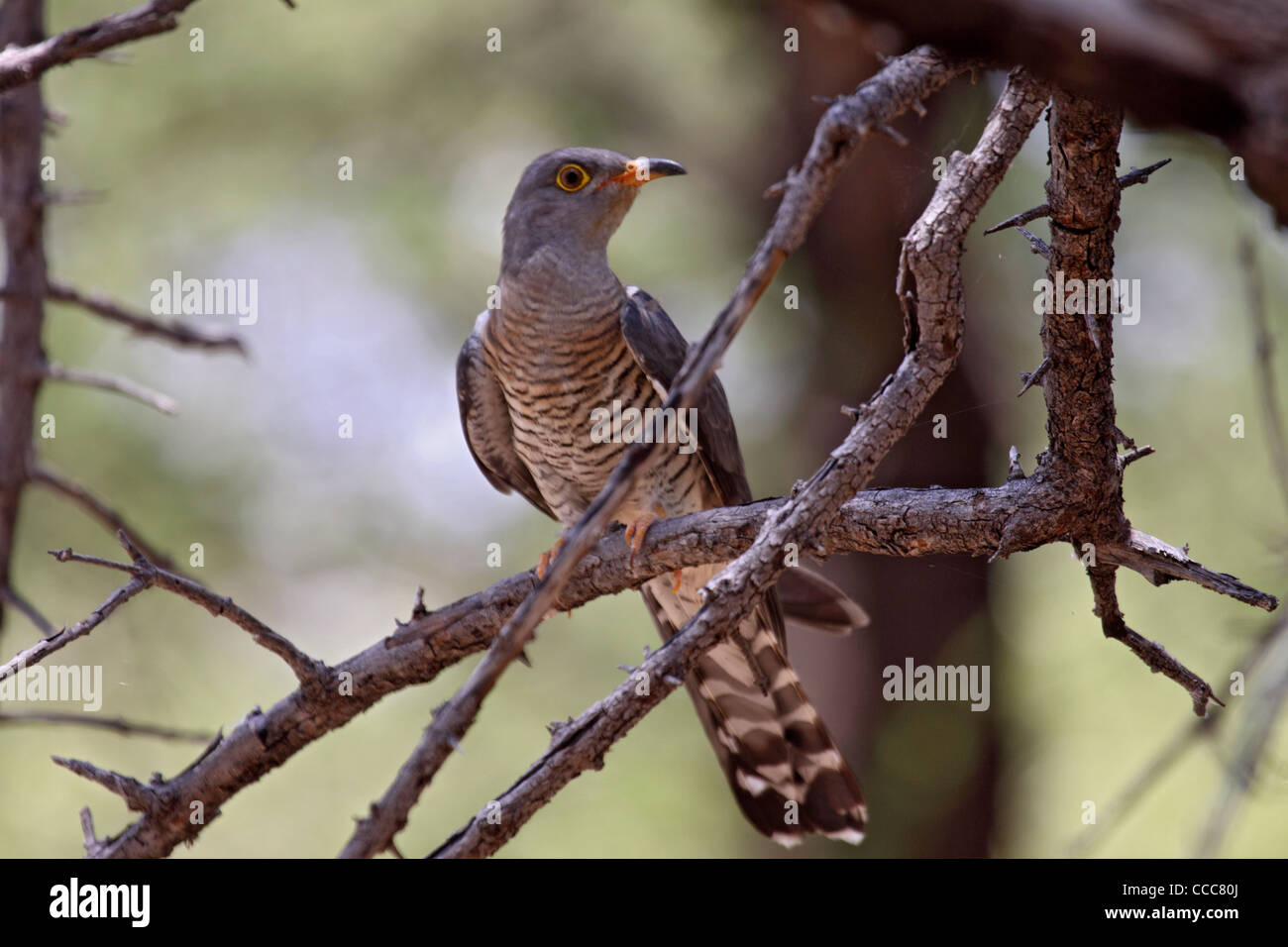 African cuckoo in Namibia - Stock Image