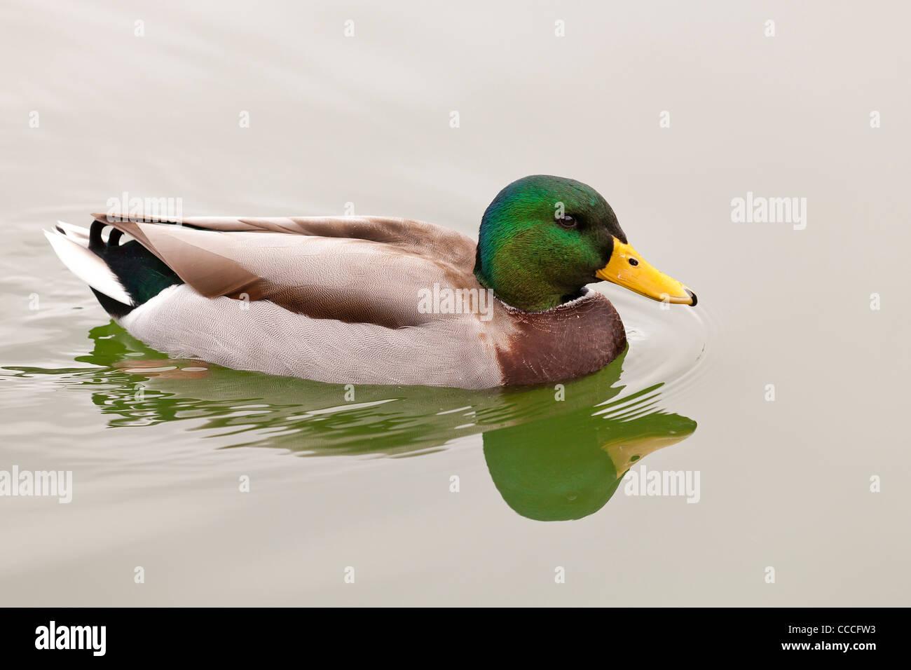 Male Mallard duck on water - Stock Image