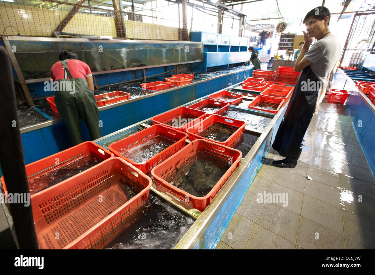 workers sort through large seawater tanks with live fish in aberdeen wholesale fish and seafood market hong kong - Stock Image