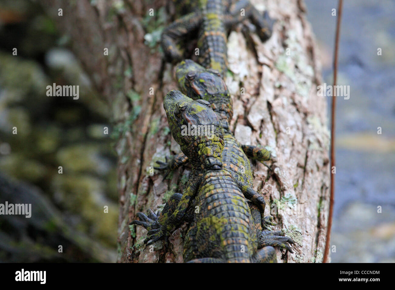 Young American alligators (Alligator mississippiensis) - Stock Image