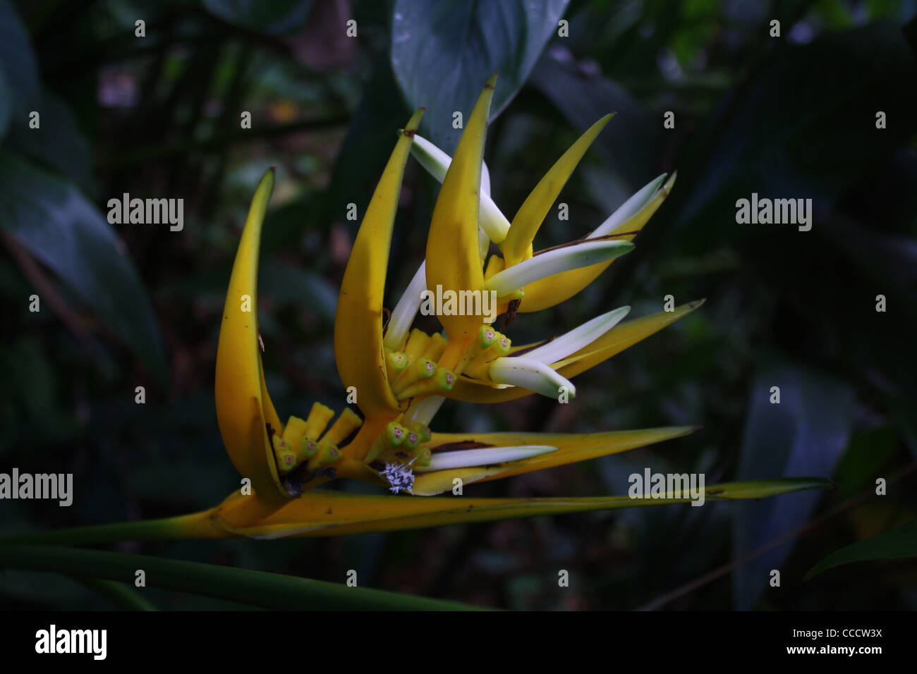 Lobster Claw Tropical Flower - Stock Image