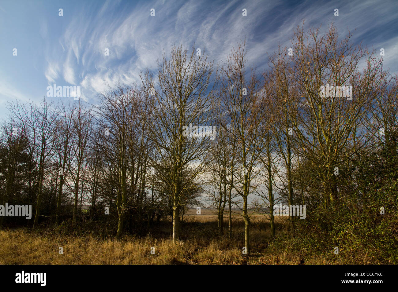 The shape of bare winter birch (betula) trees is reflected in the wispy clouds above on a bright winter's morning Stock Photo