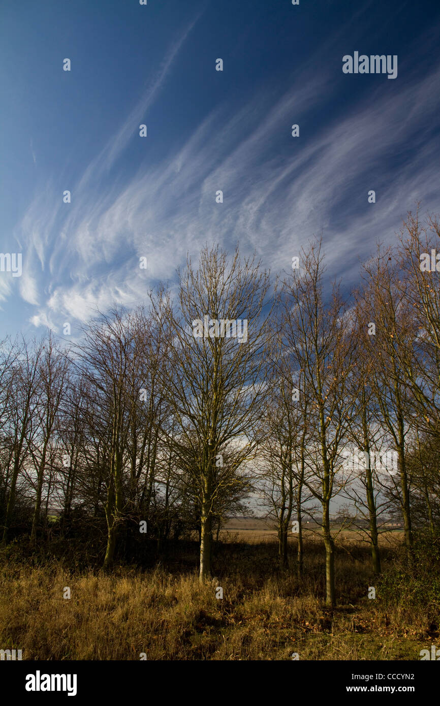 The shape of bare winter birch (betula) trees is reflected in the wispy clouds above on a bright winter's morning - Stock Image
