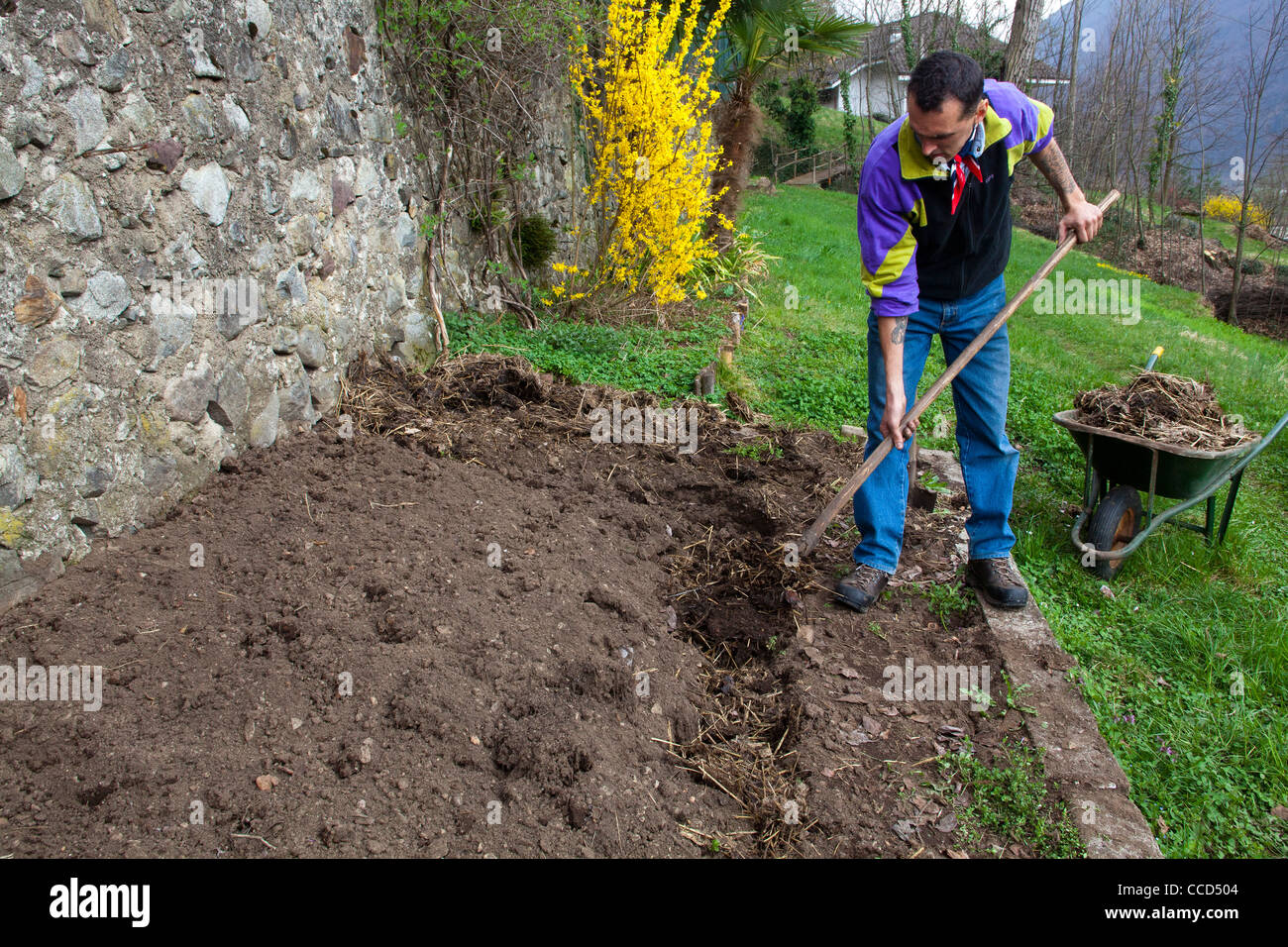 Fertilizing with manure and digging, step 1, manure is incorporated into the soil - Stock Image