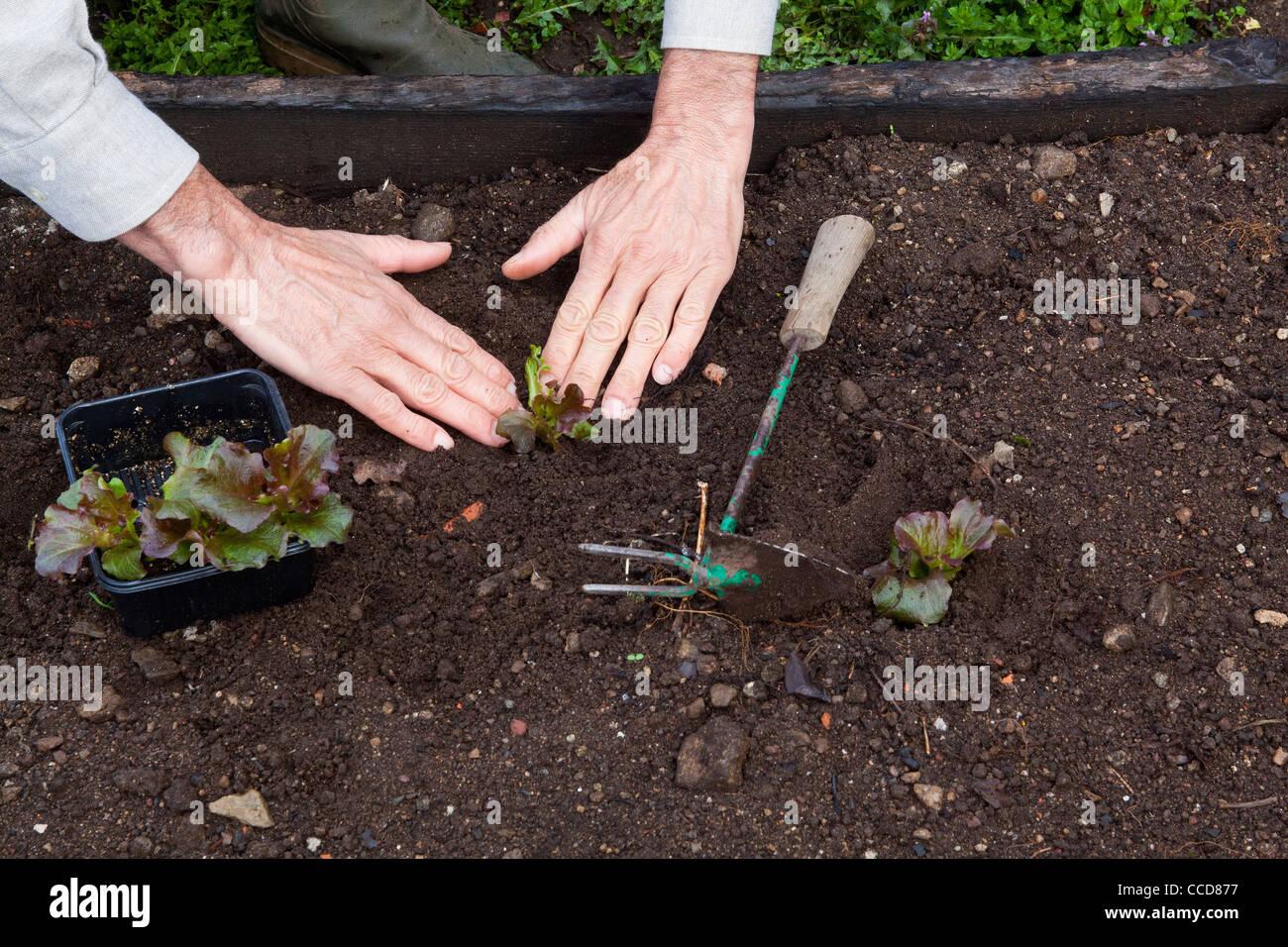 Transplant lettuce, step 4, you press the ground lightly