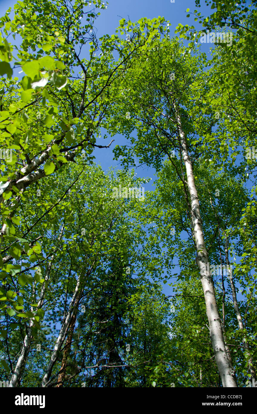 Russia, Murmansk, Lesnaya. Popular natural forest along the Tuloma River. - Stock Image