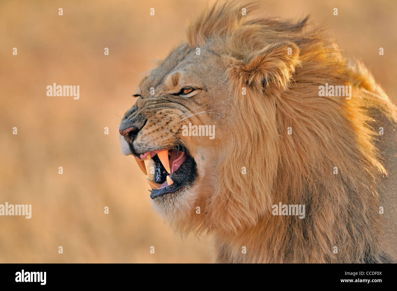 Male African lion (Panthera leo) showing the flehmen response, Kalahari desert, Kgalagadi Transfrontier Park, South - Stock Image