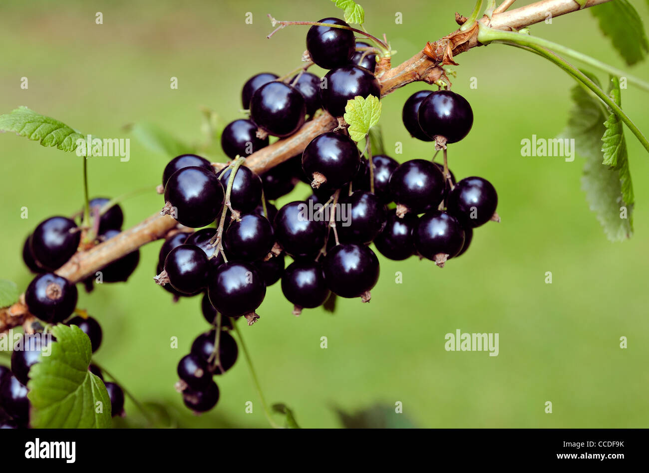 BLACKCURRANTS GROWING ON BUSH - Stock Image