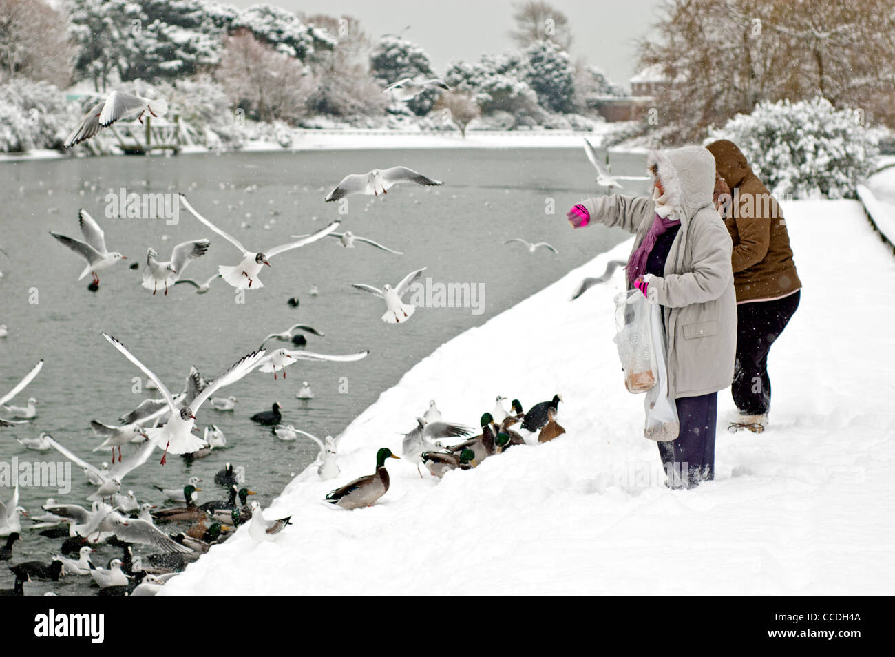 Pair of women feeding birds and ducks on an icy lake after some snow in Winter in Mewsbrook Park, Littlehampton, - Stock Image