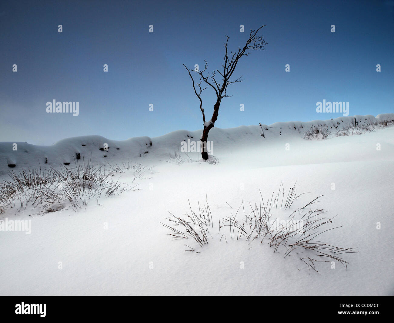 lone tree in fresh winter snow in the Peak District National Park - Stock Image
