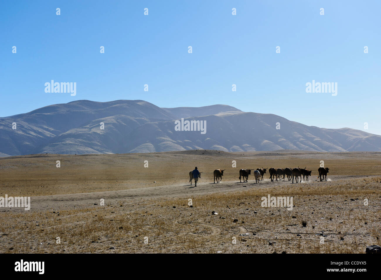 Farmer leading his cows over the dry and dusty plain near Purros,.  Kaokoland, Namibia. - Stock Image