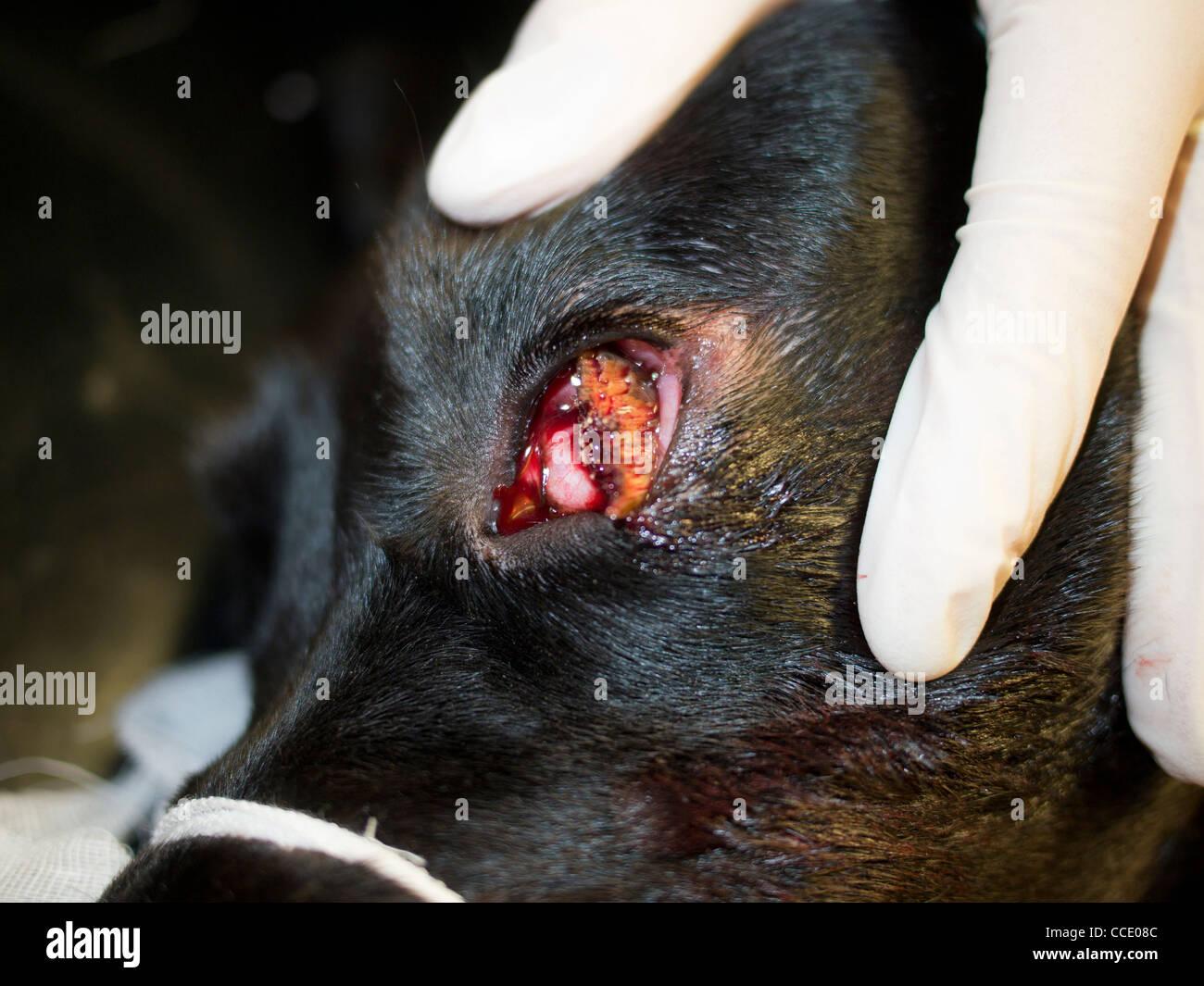 Occular Foreign Body in a Black Labrador Dog Stock Photo