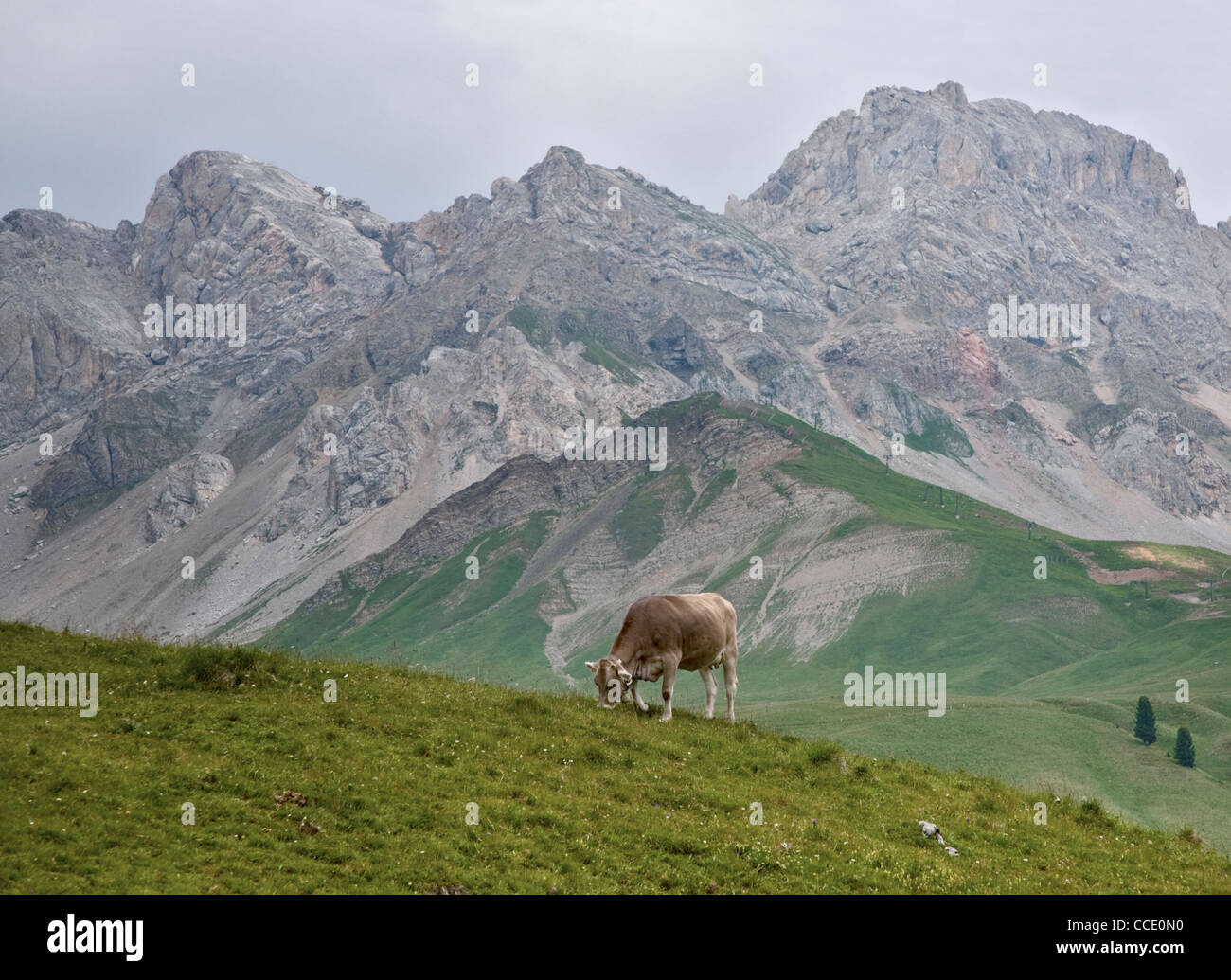 Cow grazing at San Pellegrino Pass, Dolomites, Italy Stock Photo