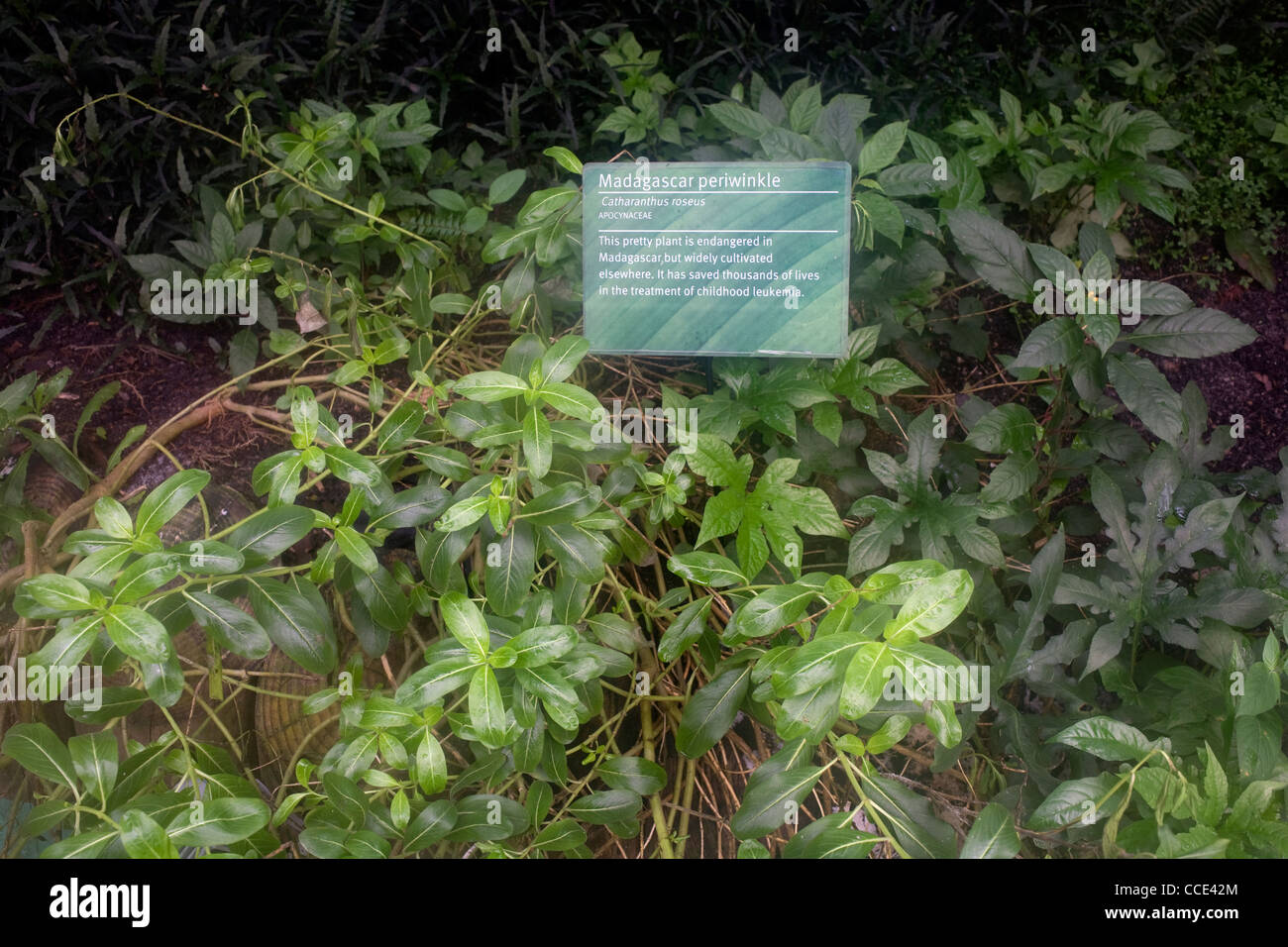 Inside the Eden project's rainforest biome you can find the Madagascar periwinkle, used for treating leukemia - Stock Image