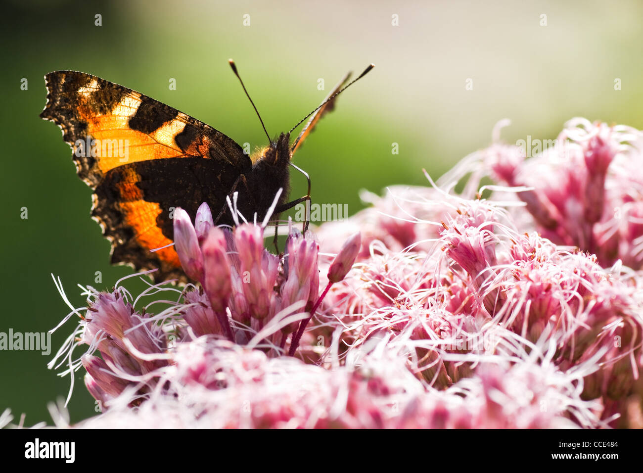 Backlight image of Small tortoiseshell or Aglais urticae on Gravel root in summer - Stock Image