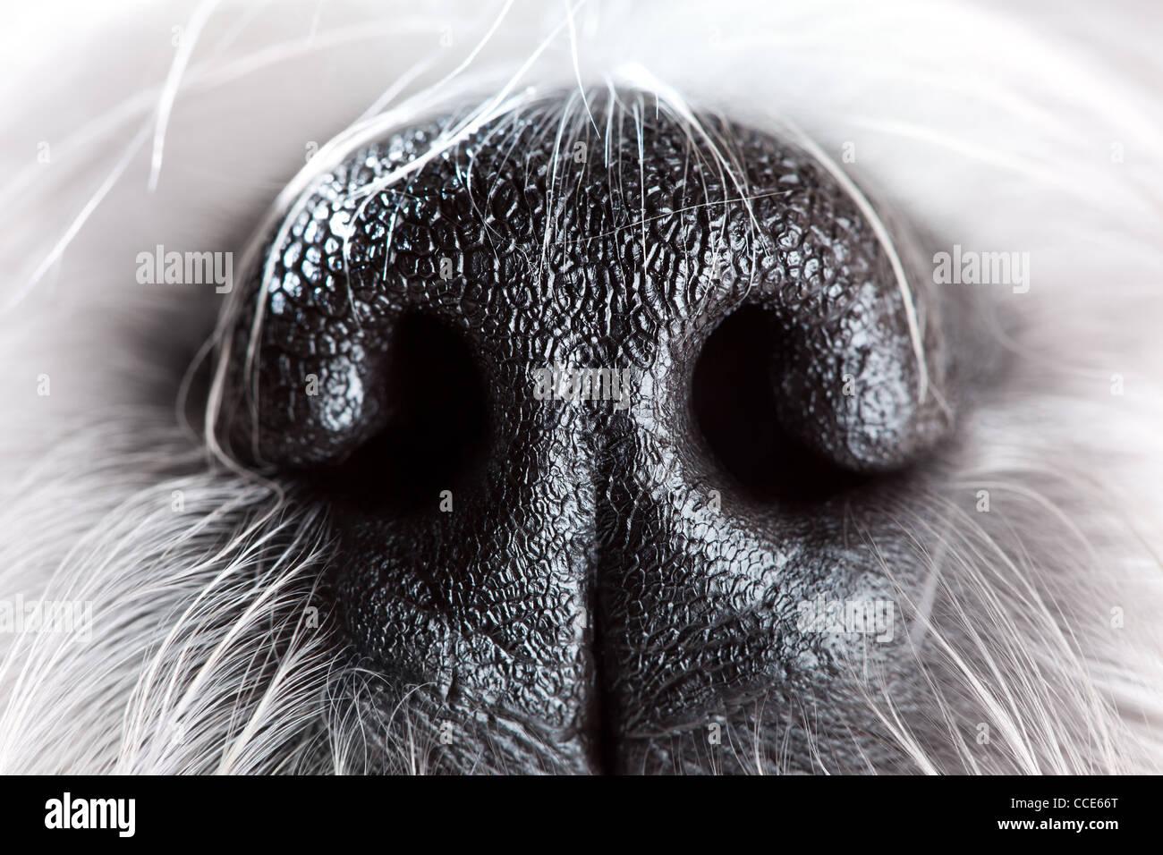 Shih tzu dog nose close-up. - Stock Image