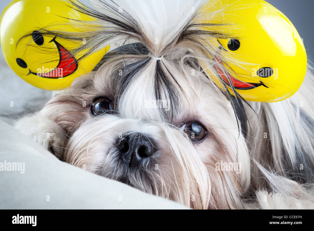 Shih Tzu Dog High Resolution Stock Photography And Images Alamy
