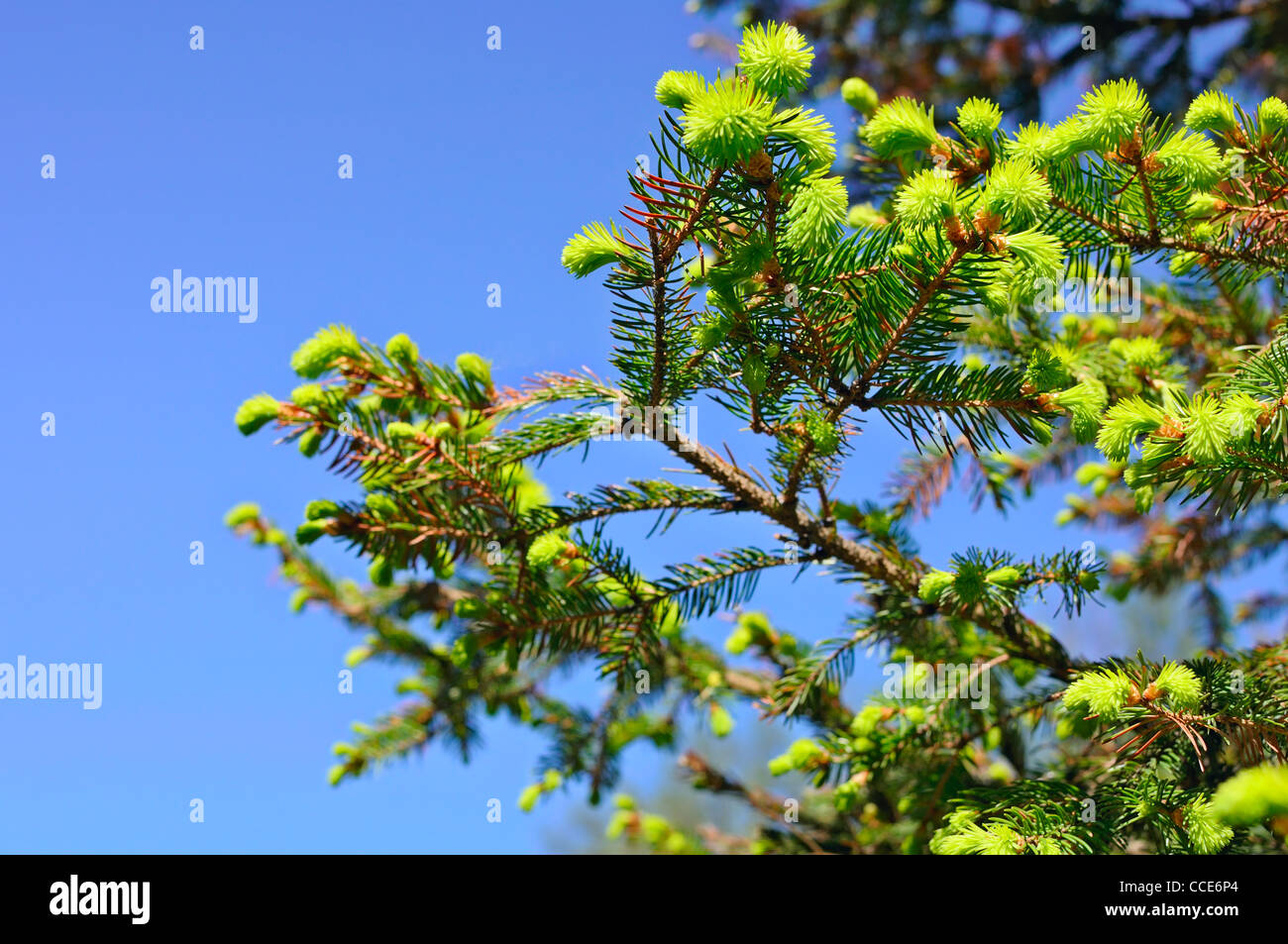 Young pine tree branch - Stock Image