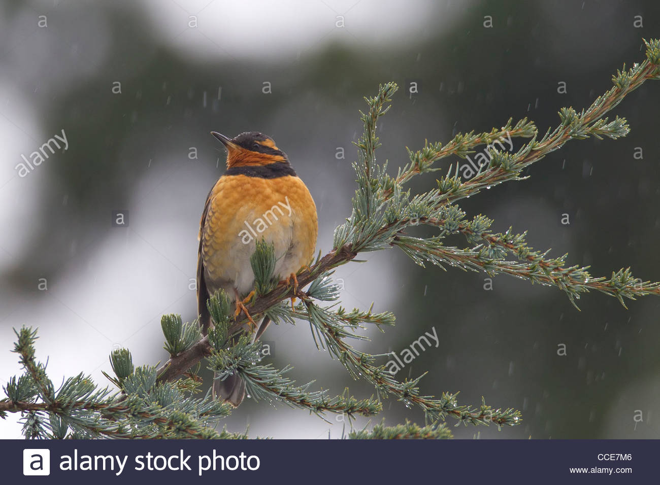 A male varied thrush (Ixoreus naevius) rests on a branch as light rain falls in Snohomish County, Washington. - Stock Image