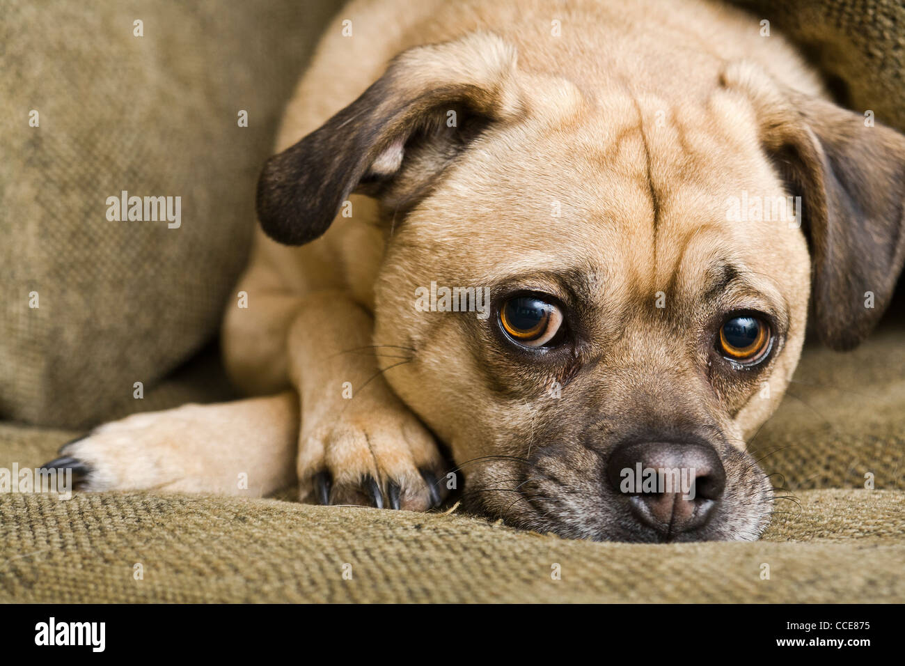 Closeup of a relaxed dog on sofa. - Stock Image