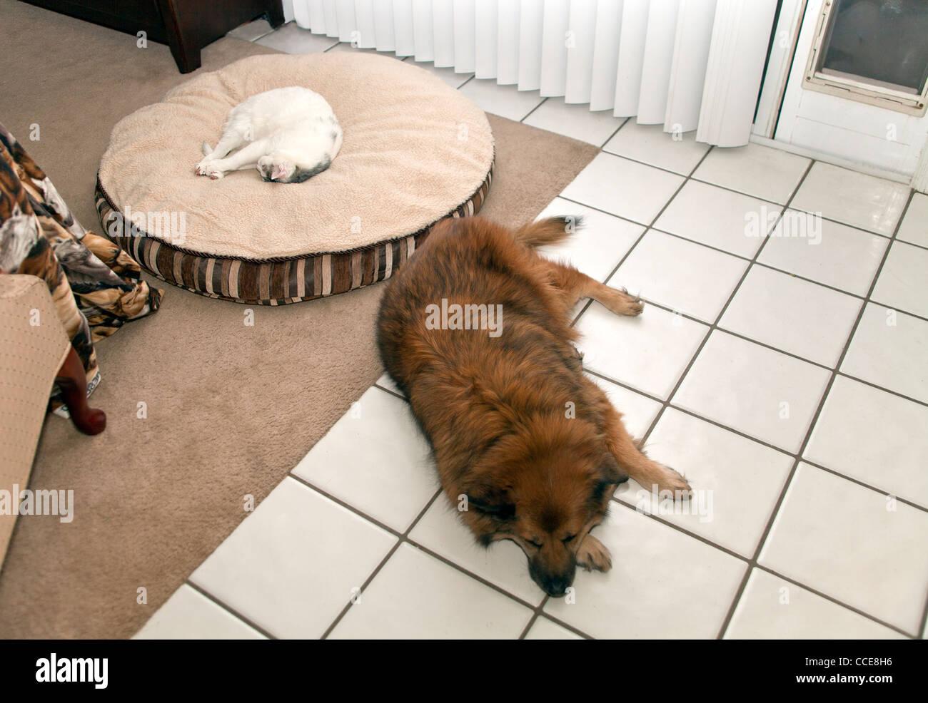 Cat asleep sleeps on dogs bed while dog sleeps on hard floor. top view above MR  © Myrleen Pearson - Stock Image