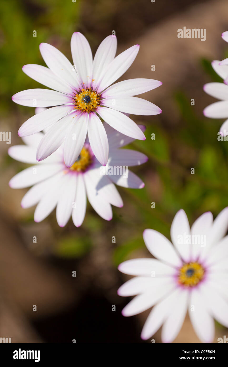 Large white daisy flowers stock photos large white daisy flowers white large daisy type flowers with pink centers stock image izmirmasajfo