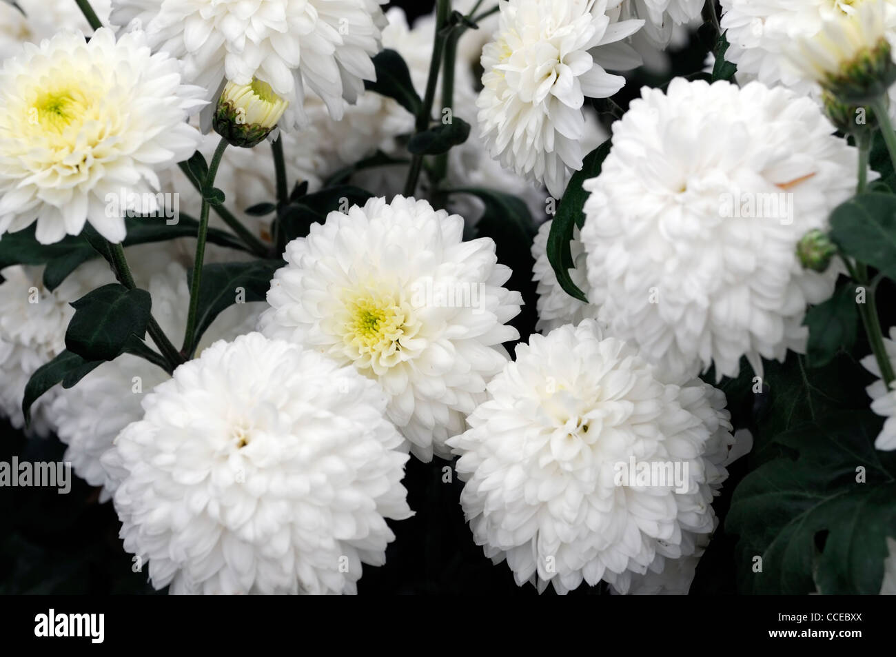 White chrysanthemum flowers stock photos white chrysanthemum chrysanthemum asterlee white flowers blooms blossoms half hardy perennial herbaceous plant flower bloom blossom stock mightylinksfo