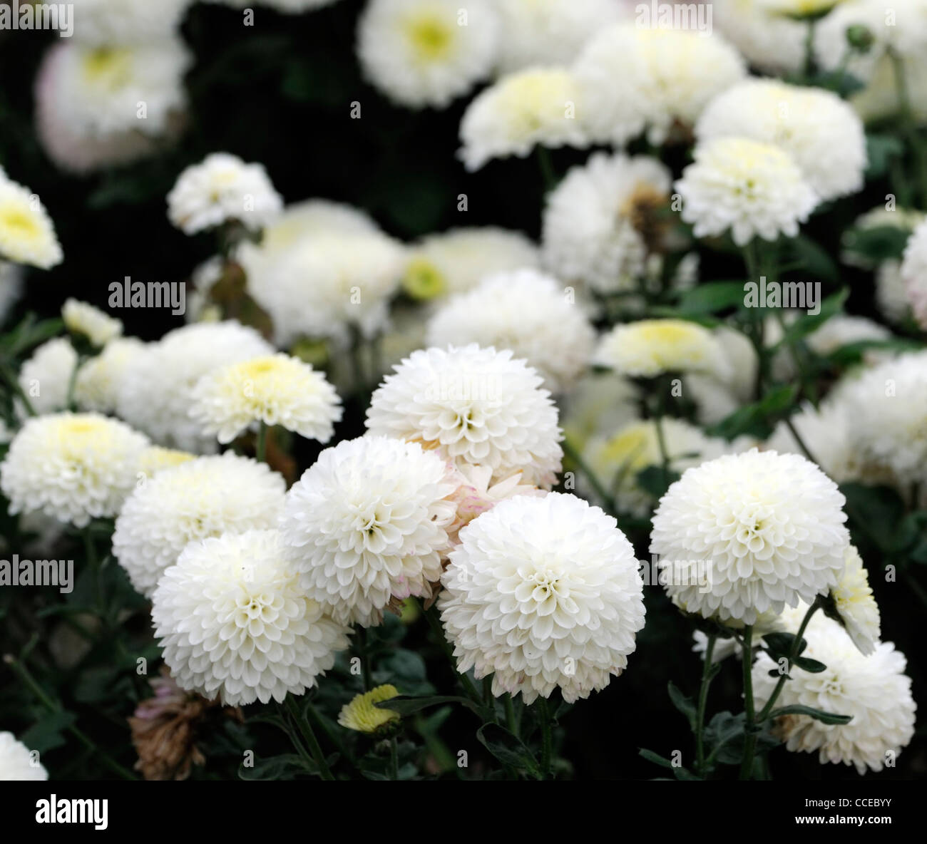 Cameo Stock Photos Images Page 2 Alamy Vintage Story Flower Japanese Chrysantemum Chrysanthemum White Flowers Blooms Blossoms Half Hardy Perennial Herbaceous Plant Bloom Blossom