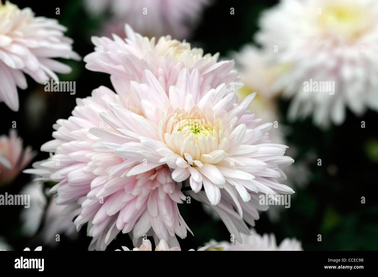 Cream Chrysanthemum Stock Photos Cream Chrysanthemum Stock Images