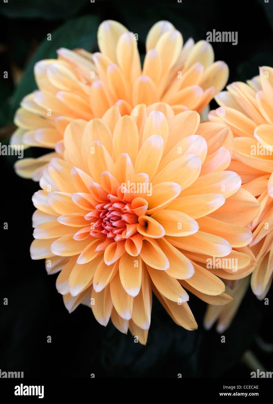 Dahlia anne elise orange flower bloom blossom closeup plant portraits flowers flowering perennials blooms blossoms - Stock Image