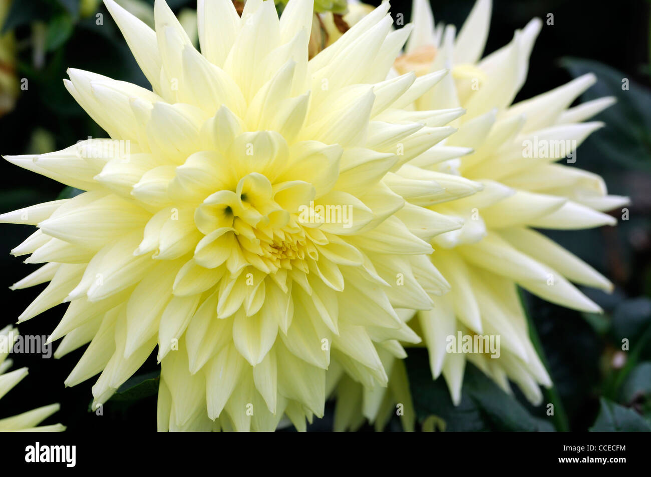 Dahlia janal amy yellow flower bloom blossom closeup plant portraits dahlia janal amy yellow flower bloom blossom closeup plant portraits flowers flowering perennials blooms blossoms semi cactus izmirmasajfo