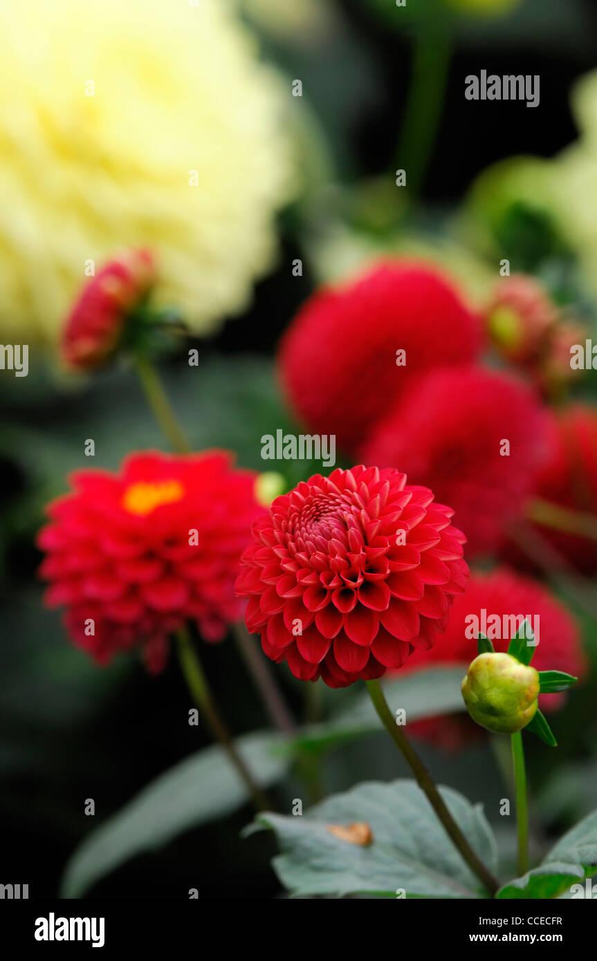 Dahlia Lismore Carol Pompom Red Flower Bloom Blossom Closeup Plant
