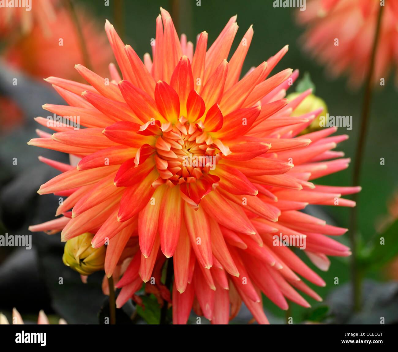Dahlia Motto Form Orange Yellow Flower Bloom Blossom Closeup Plant