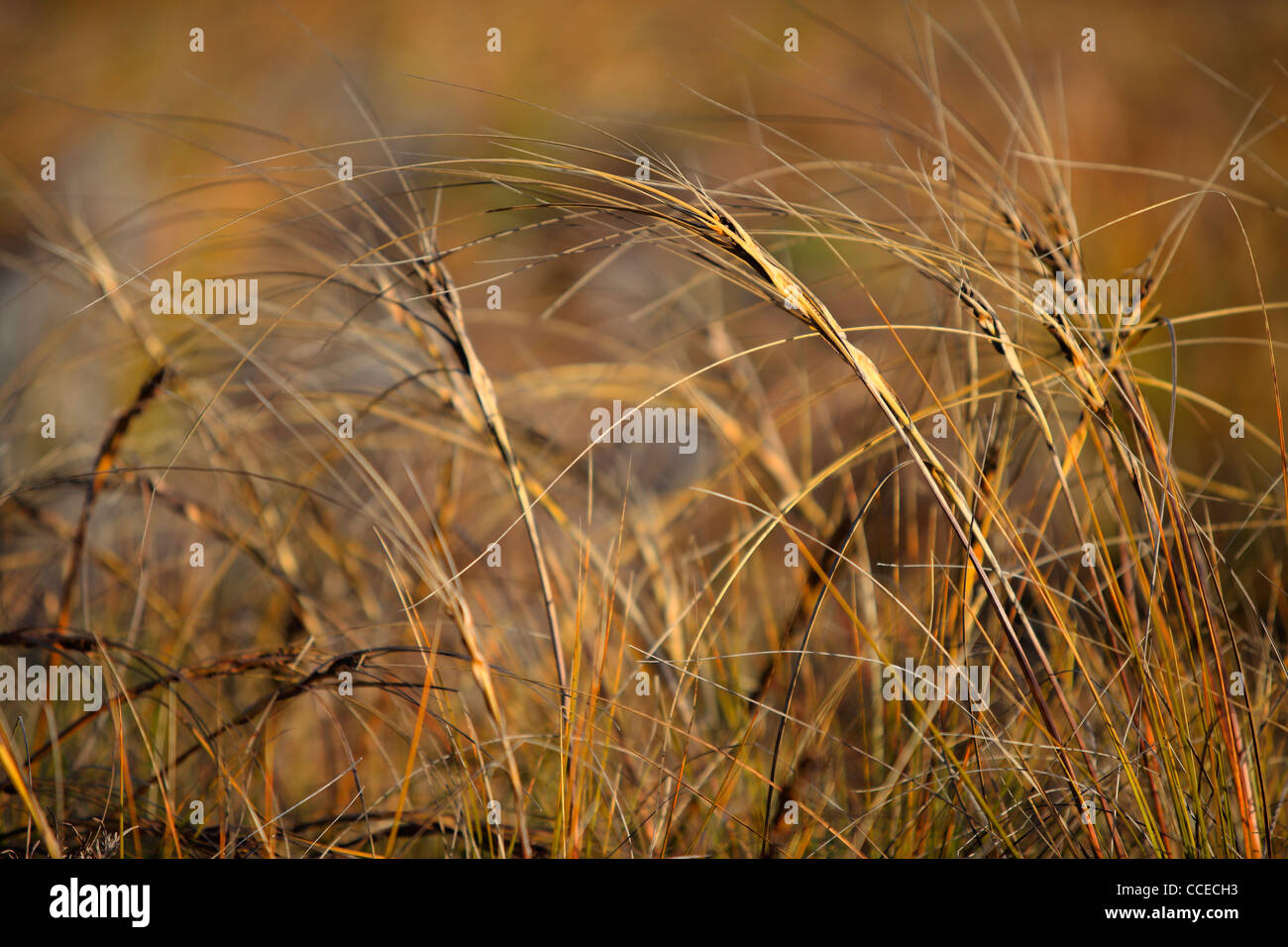 Warm afternoon light on grasses in Arthur's Pass, New Zealand - Stock Image