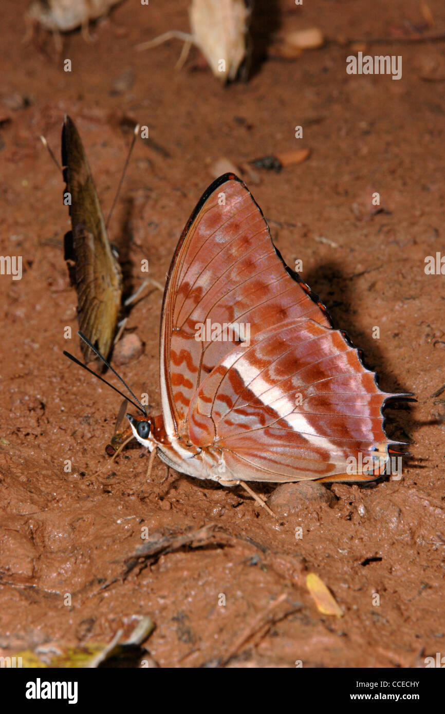 Western red charaxes butterfly (Charaxes cynthia : Nymphalidae) male puddling in rainforest, Ghana. Stock Photo