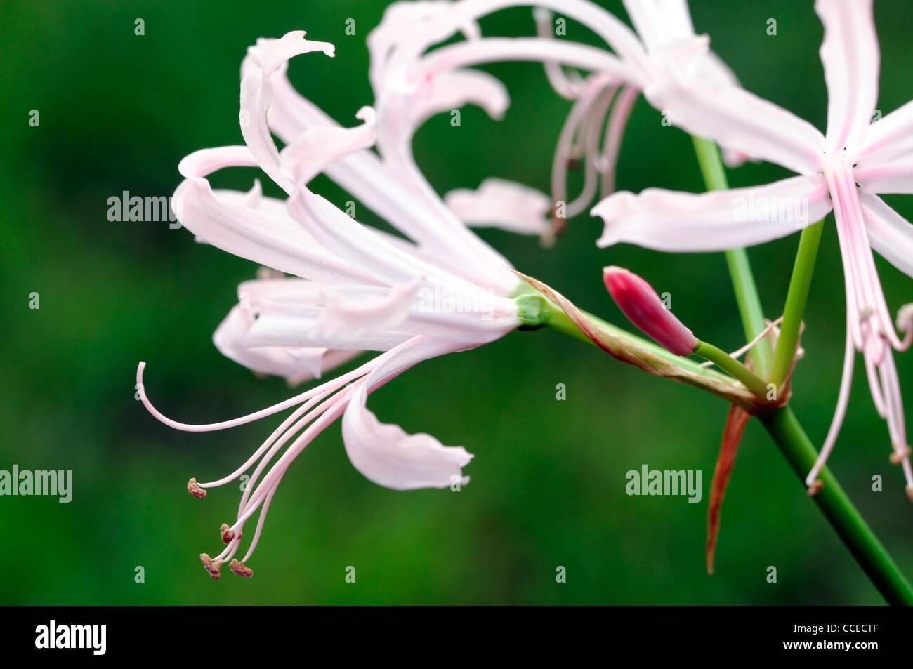 Nerine Nikita Guernsey lily Bowden-Cornish lily Nikita nerines autumn autumnal selective focus pink pale pastel - Stock Image