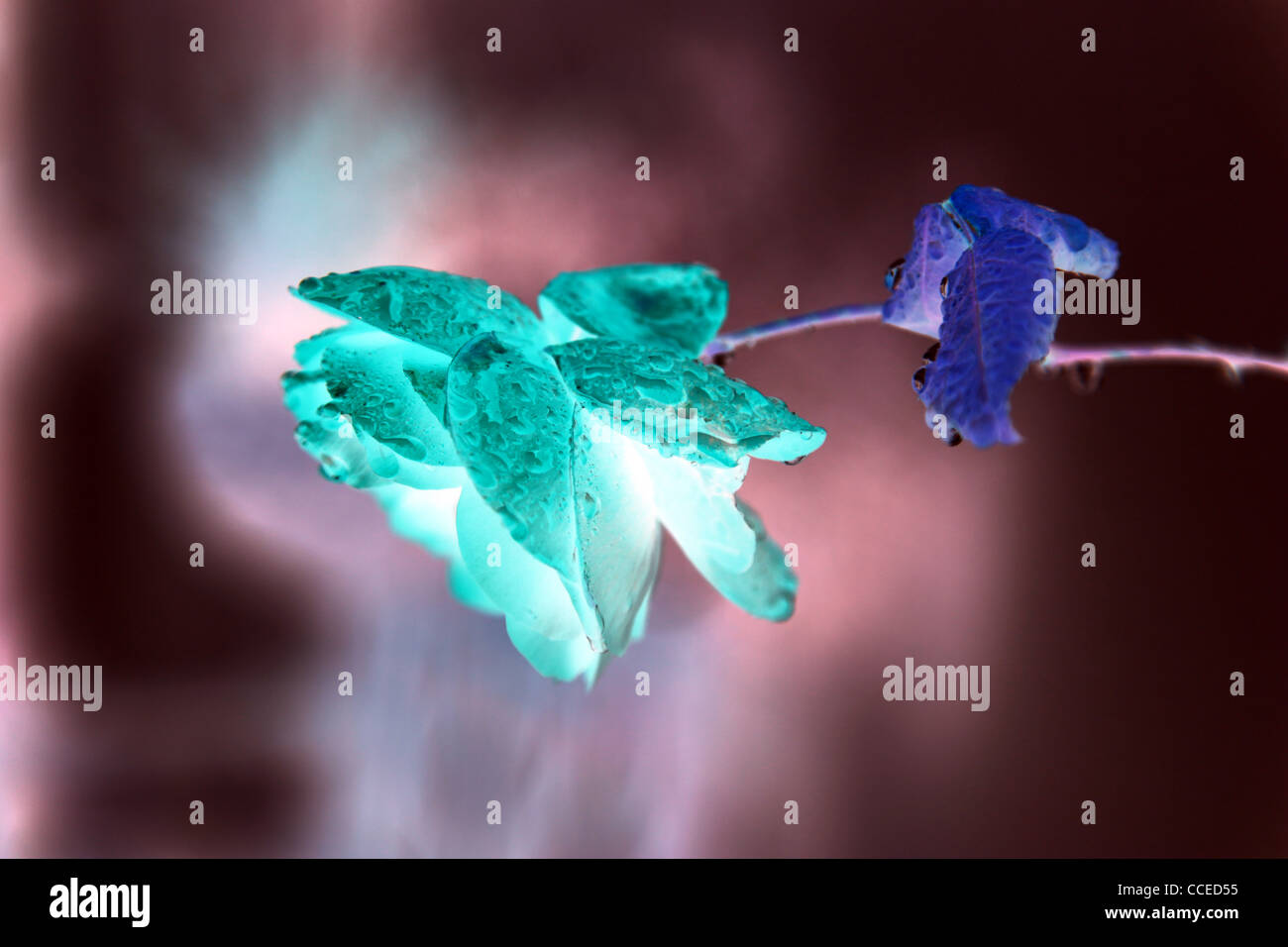 Stilleben,Rose,Blume,digital,blau,rose,lila,grün,Beleuchtung,Tau,Regen,positiv,negativ,Tautropfen,Regentropfen,Kunst,art,Blume - Stock Image