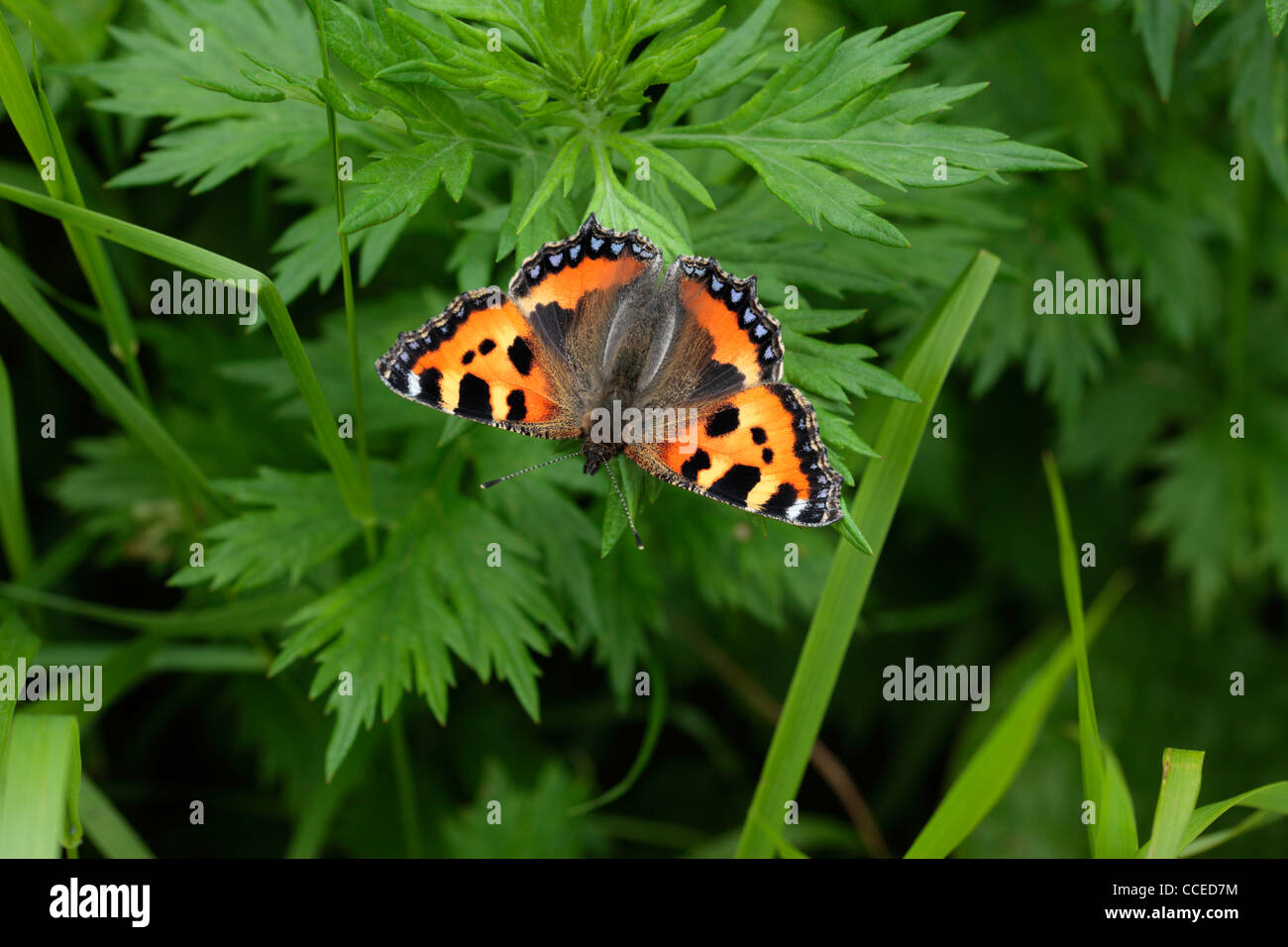 A brightly colored butterfly called a Small Tortoiseshell (aglais urticae) in spring Stock Photo