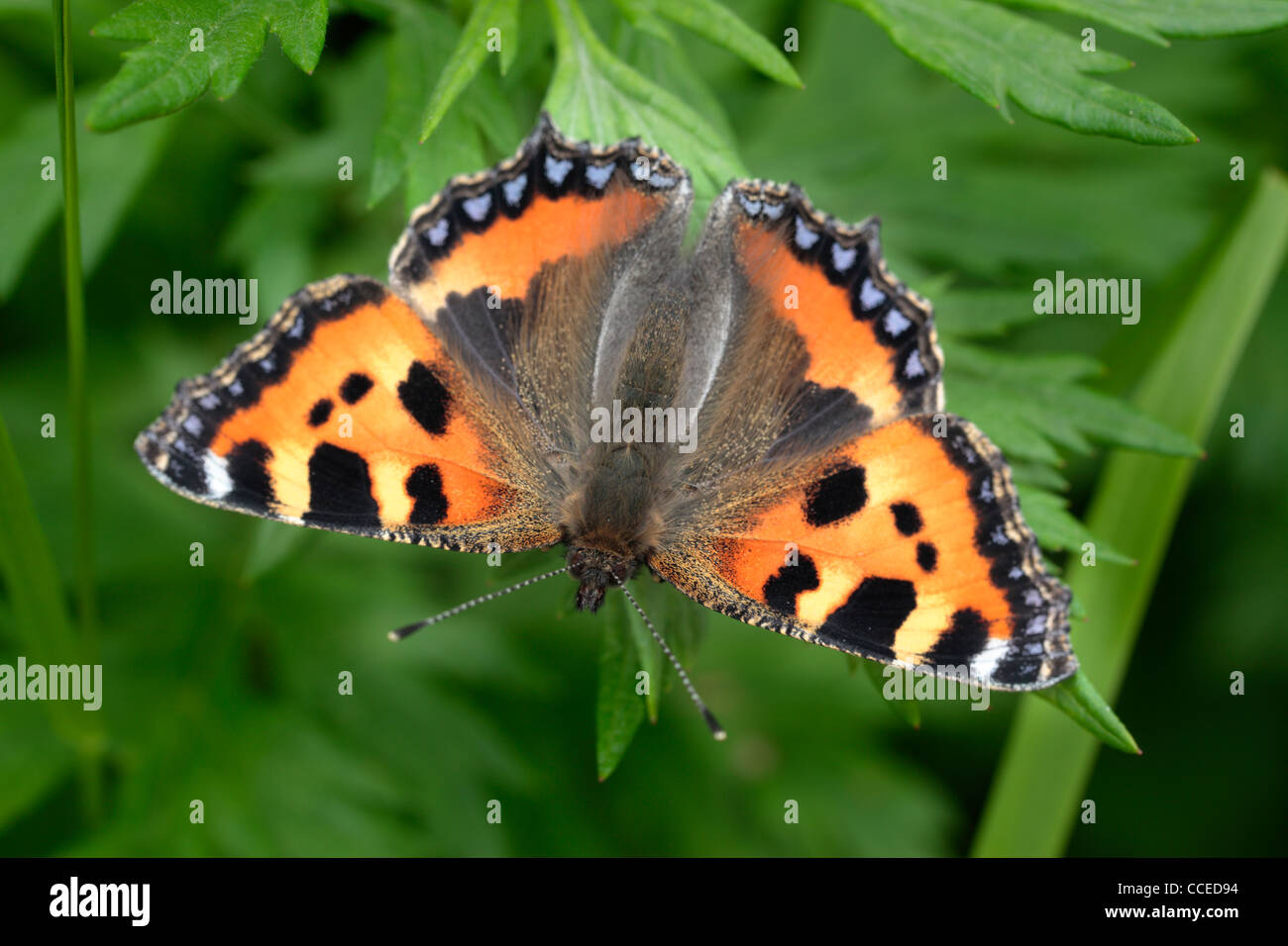 A brightly colored butterfly called a Small Tortoiseshell (aglais urticae) in spring - Stock Image