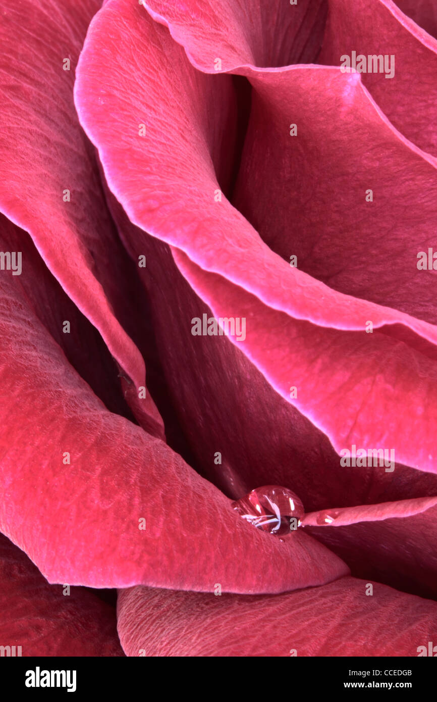 Single drop of water rests on the petals of a red rose - Stock Image