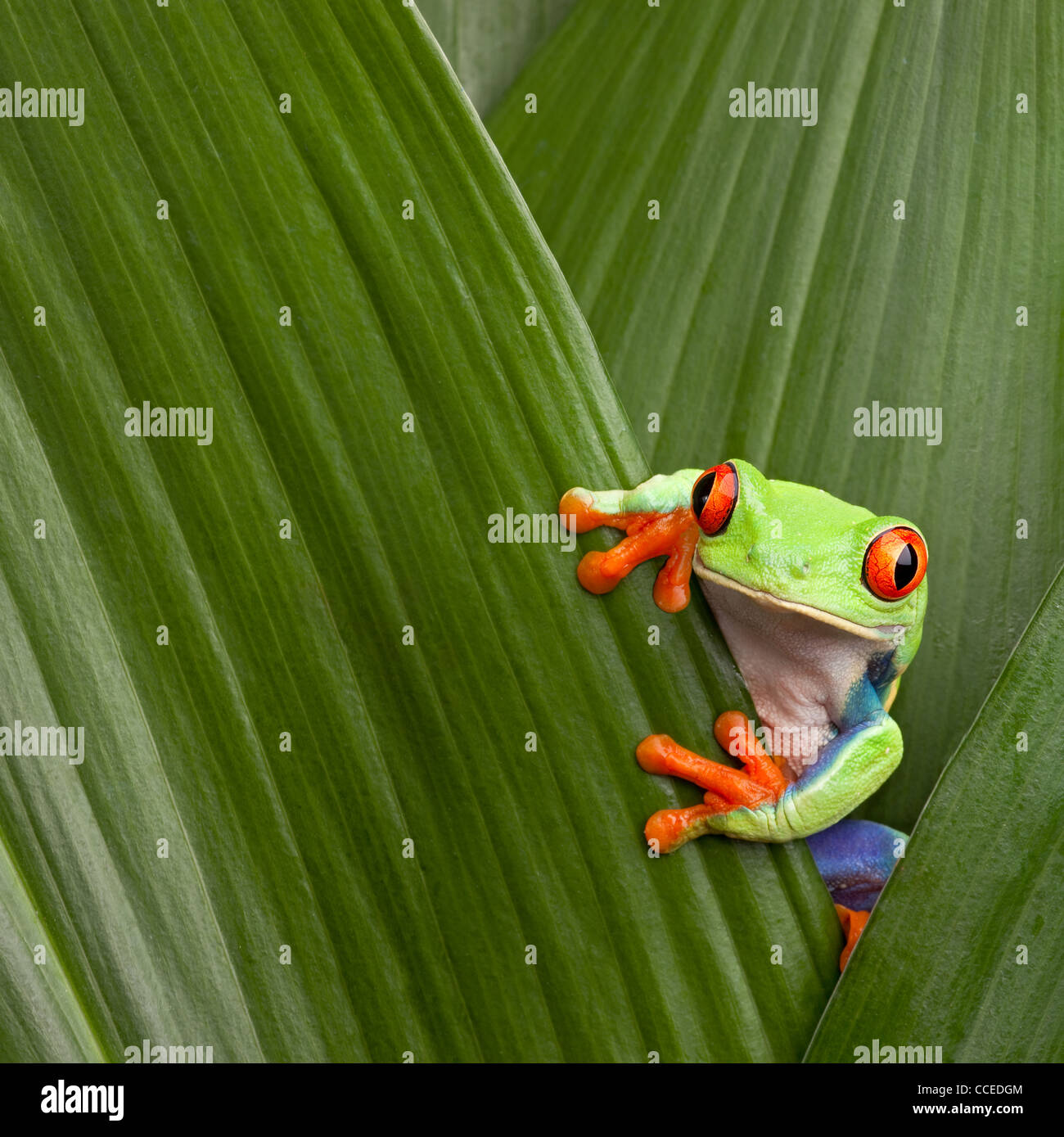 Red Eyed Tree Frog Agalichnis Callidrias Hiding In Green Leaf Stock Photo Alamy