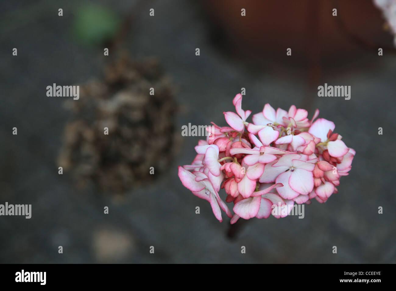 Hortensie, rose,rot,Winter,Blüte,weiss,hydrangea,pink,red,white,blossom,blom,Blume,flower,Pflaster,strahlend,Kontrast,Detail - Stock Image