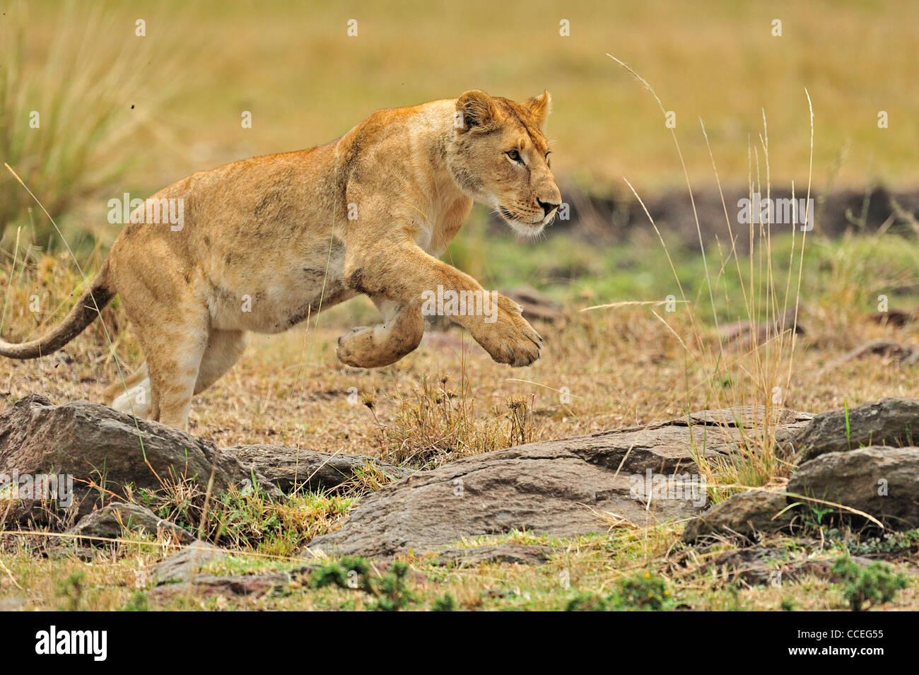 A charging lioness in Masai Mara, Kenya, Africa - Stock Image