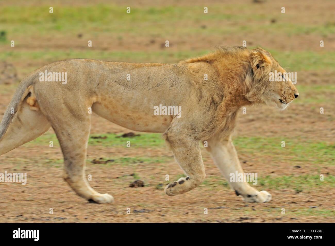 A charging lion in Masai Mara, Kenya, Africa - Stock Image
