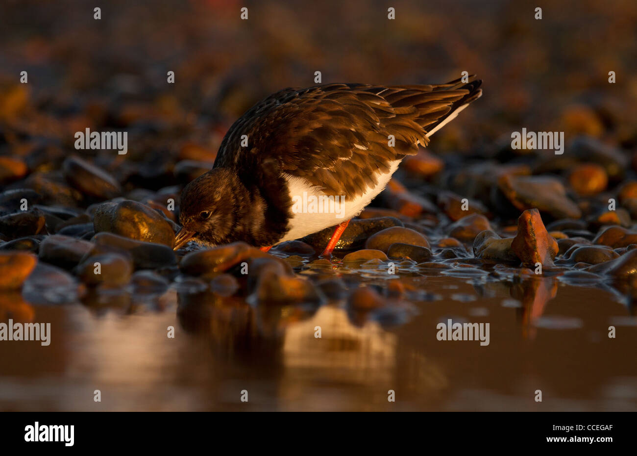 Turnstone, Arenaria interpres turning stones and pebbles on the beach looking for food. - Stock Image