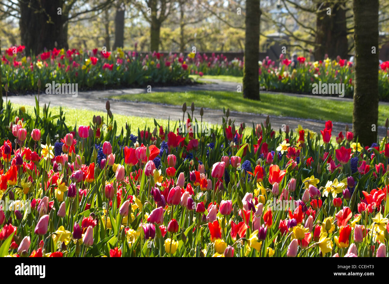 Colorful spring garden with tulips and daffodils on early morning in april - horozontal image - Stock Image